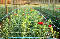Red carnations growing on a plantation close-up. Plantation carnations. red flowers in the rays close-up at sunset time Stock Photo
