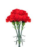 Red carnations isolated on white Royalty Free Stock Images