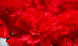 Red carnations, macro, sweet william Stock Image
