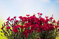 Red carnations, red blossoms Royalty Free Stock Images