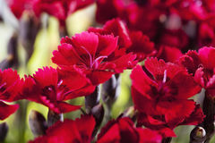 Red carnations, red blossoms Stock Images
