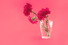Red carnations in vase on a red background. Greeting card. Stock Photos