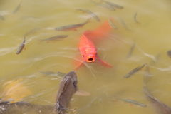 Red carp at Park Asterix, Ile de France, France Stock Photo