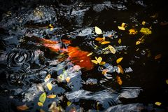Red carp swimming in the black color pool. Red carp swimming in the black pool royalty free stock photo