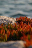 Red carpobrotus edulis stone and sea background co Royalty Free Stock Image