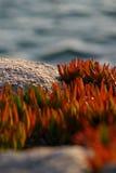 Red carpobrotus edulis stone and sea background co. Red carpobrotus edulis in a stone and sea background contrast Royalty Free Stock Image