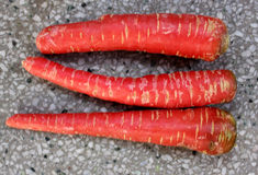 Red Carrot. Carrot root, Daucus carota, Gajjar in India, conical fleshy roots are rich source of beta carotenes, antioxidants and minerals Used as salad and stock photos