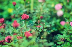Red Cascade miniature rose bred of red mini roses royalty free stock images