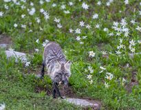 Red Cascades Fox Carries Fresh Kill. Through field of avalanche lilies Stock Photo