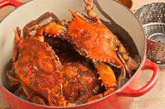 Red cast iron pot of colossal steamed and seasoned Chesapeake blue claw crabs Royalty Free Stock Photography