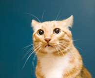 Red cat. On a blue background Stock Photography