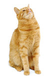 Red cat Royalty Free Stock Photo