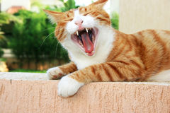 Red cat. With open mouth Royalty Free Stock Images