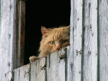 Red cat. Is waiting for enemy Royalty Free Stock Photography