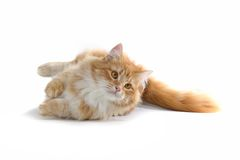 Red cat. Laying on the ground Stock Image