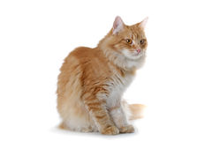 Red cat. Norwegian forest cat looking sidewards Stock Photography