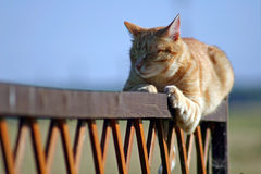 Red cat. The red cat laying on a fence Stock Photography