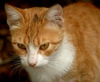 Red cat. One of the cats that I have at my yard Royalty Free Stock Images