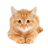 Red cat. Portrait of a cute little red cat isolated on white studio background stock photo