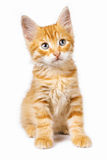 Red cat Stock Image
