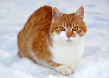 Red cat. On the snow Stock Photos