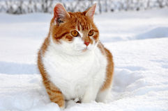 Red cat. On the snow Stock Image