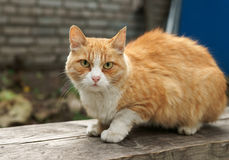 Red Cat Royalty Free Stock Image