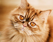 Red cat. Breed Selkirk rex Stock Image