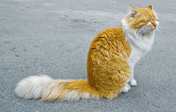 Red cat. Drows on asphalt Royalty Free Stock Photos