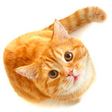 Red cat. (pets, top view Stock Photography
