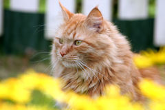 Red cat. Big red cat in the summer in flowers Royalty Free Stock Photo