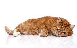 Red cat royalty free stock photos