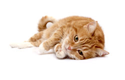 Red cat. On a white background Stock Image