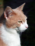 Red cat. This is a red cat which I have meted in Toscana, Italy Stock Photo