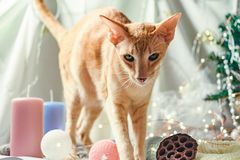 Ginger red cat against the background of Christmas decoration of a table. Red cat against the background of Christmas decoration of a table royalty free stock photography