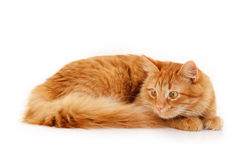Red cat attention lying down Stock Images