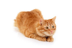 Red cat attention lying down. Isolated on white background Stock Photo