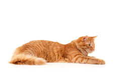 Red cat attention lying down Royalty Free Stock Photo