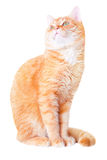 Red cat attentively looks up Royalty Free Stock Photos