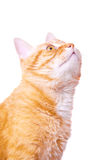 Red cat attentively looks up Royalty Free Stock Images