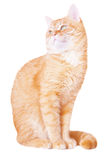 Red cat attentively looks up Stock Image