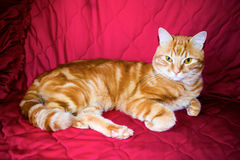 Red cat. On a red background Stock Photo