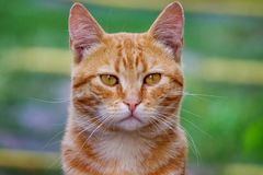 Red cat in the background of green grass, portrait close-up_. Red cat in the background of green grass, portrait close-up royalty free stock photo