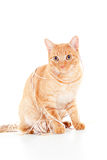 Red cat with a ball of yarn Royalty Free Stock Photography