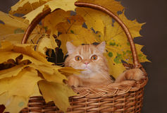 Red cat in basket. With autumn leaves royalty free stock images