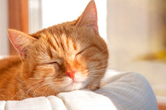 Red cat basking in the sun. Close-up royalty free stock image