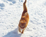 Red cat. Beautiful ginger cat crouching white cold snow Stock Photo