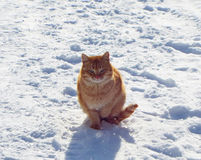 Red cat. Beautiful ginger cat crouching white cold snow Royalty Free Stock Photo