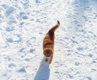 Red cat. Beautiful ginger cat crouching white cold snow Royalty Free Stock Photos