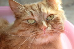Red cat. Royalty Free Stock Photography